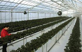 ホテルの敷地内にオープンしたイチゴ農園。イチゴ狩りが楽しめる(京都府宮津市田井・宮津ロイヤルホテル)