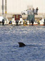 北九州市小倉北区の港に迷い込んだクジラとみられる生物=12日午後