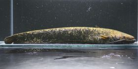 滋賀県立琵琶湖博物館などのチームが発表した新種の「タニガワナマズ」(同博物館提供)