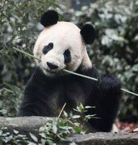 公開が再開された、ジャイアントパンダの雄リーリー=2日午前、東京・上野動物園