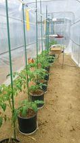 トマトの苗に小刻みに振動を与える実験の様子(琉球大提供)