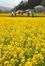 山里を黄色に彩り、見頃を迎えたいわき市川前地区の菜の花